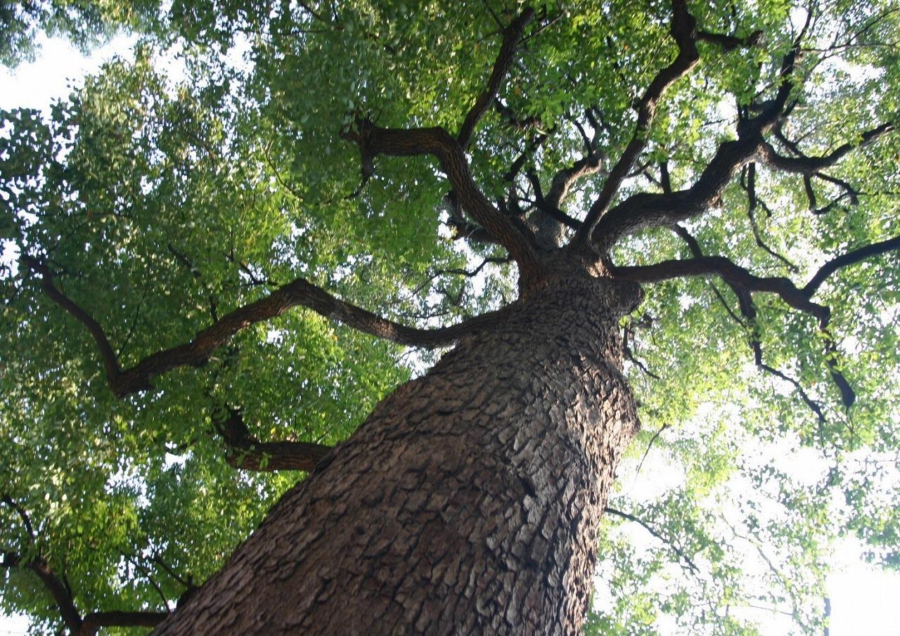 やちだもの木